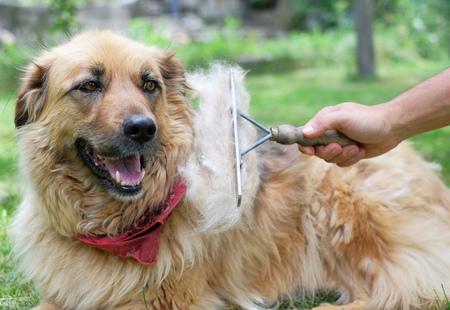 Brushing the big fluffy dog with a brush during shedding