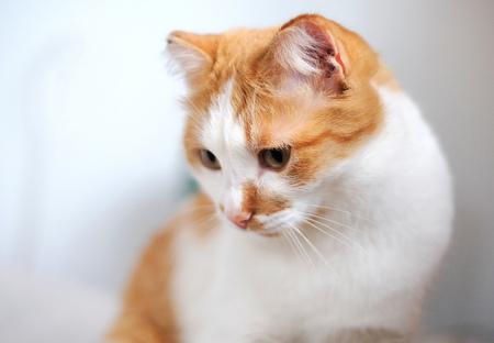 portrait of a cute orange and white cat Stock Photo - 113695003