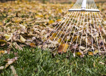 raking leaves with fan rake from the lawn. Stock Photo