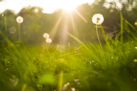 grass and dandelions background in the sunshine during sunset Banque d'images