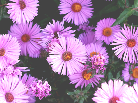 Purple flowers of perennial Asters blooming in the garden