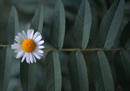 Daisy flower on green leaves of a tree branch, summer concept. Standard-Bild