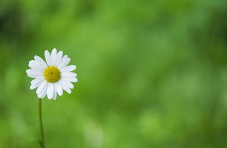 Daisy flower on the green background.