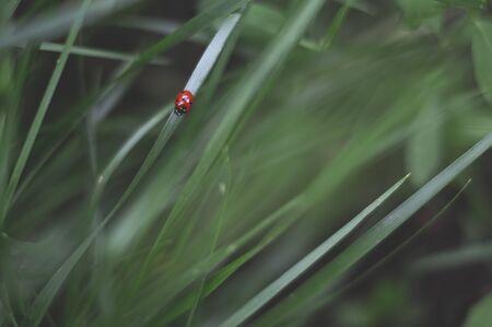 Ladybug on the green grass. Stock fotó