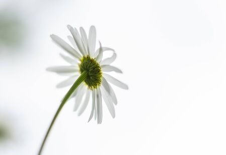 White daisy flower on the back side against the white background