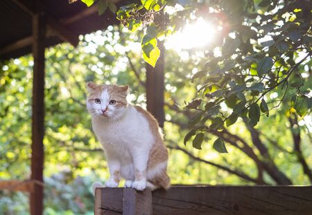 Cute orange and white cat sitting outdoors at the sunset