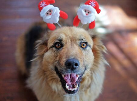 Cute smiling fluffy Dog wearing Christmas decoration on the head
