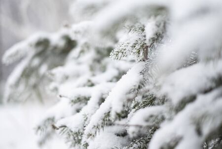 Spruce branch covered with snow. Winter concept.
