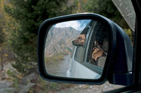Dog in rear-view mirror. Traveling by car with dog in autumn 版權商用圖片
