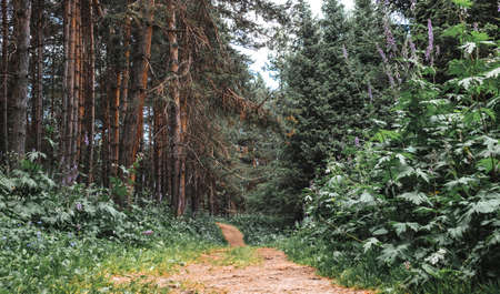 path through a beautiful pine forest. Stok Fotoğraf