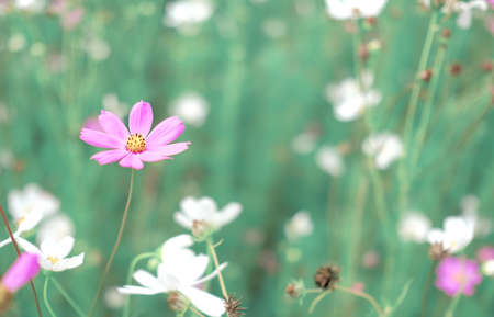Purple and white cosmos flower in the field