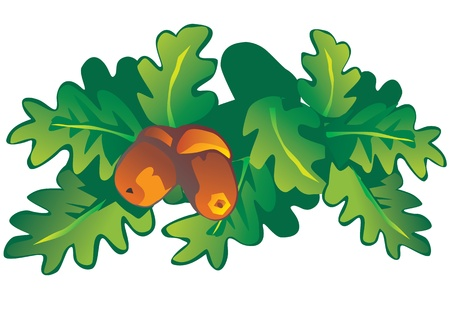 Oak leaves and acorns  Vector art-illustration on a white background