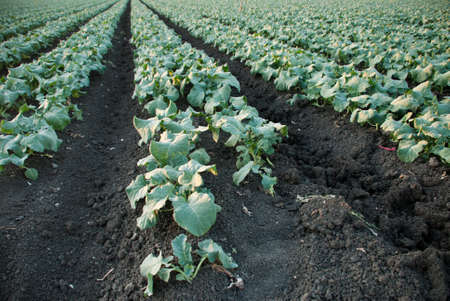 Leafy Crops in rows in a horizontal orientation
