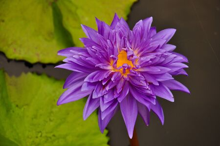 Purple Water Lilly photo