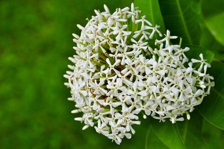 White Ixora, West Indian Jasmine