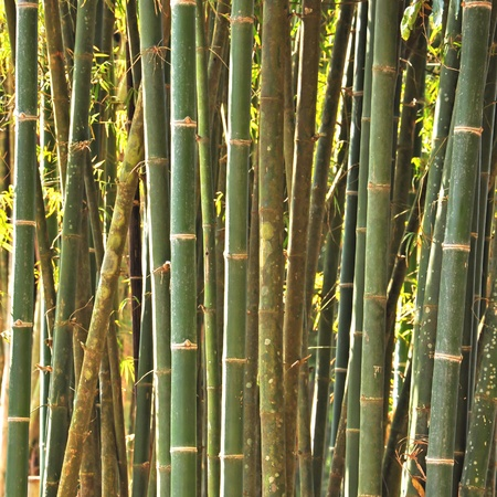 Bamboo forest, Thailand