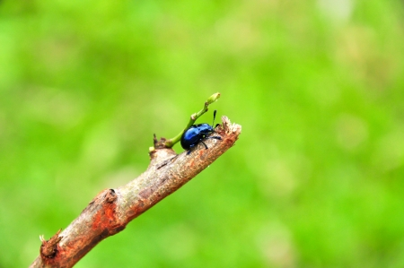 Blue Milkweed Beetle, Chrysochus pulcher, Thailand