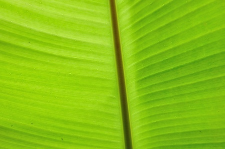 backlit fresh green banana leaf with small water drops photo
