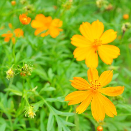 Beautiful Yellow Cosmos Flower