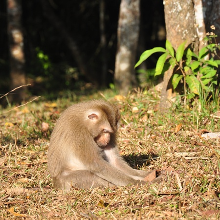 sleeping monkey at Khao Yai national park, Pig-tailed Macaque photo