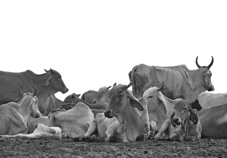 A group of cow resting in a field on a white background, black and white  photo