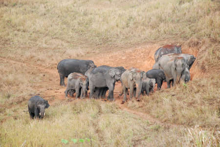 Herd of Asian Elephants of Khao Yai national park, Thailand
