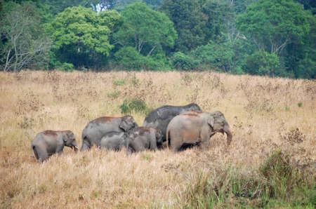 Herd of  Asian Elephants of Khao Yai national park, Thailand Stock Photo