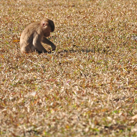 male wood tick: Young monkey at Khao Yai national park, Pig-tailed Macaque