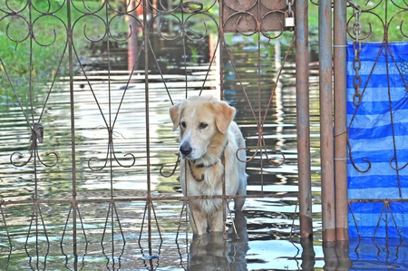 a dog waiting his owner at home, Thailand flooding crisis 2011