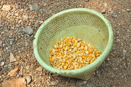 Corn seeds in basket for animal feed  photo