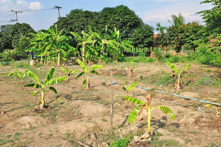 banana  trees in plantation, Thailand Stock Photo - 13184286