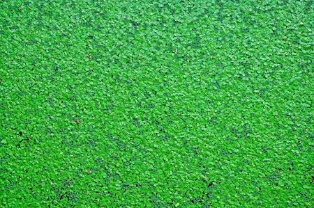 duckweed: Closeup of Water fern Stock Photo