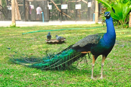 Peacock or Peafowl in Thailand, Pavo muticus photo