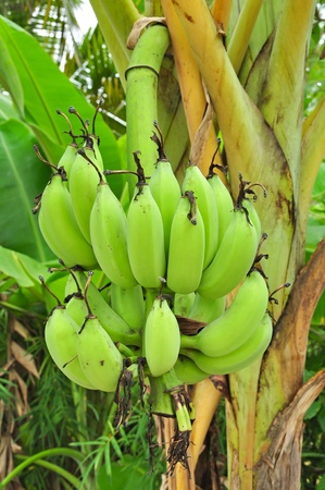 banana on tree Stock Photo - 13446359