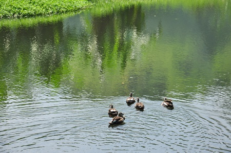 A group of Lesser Whistling Duck, Indian Whistling Duck, Dendrocygna javanica Stock Photo - 13509308