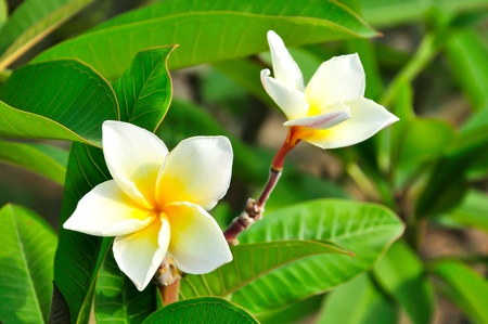 White Plumeria, beauty flower Stock Photo - 13578638