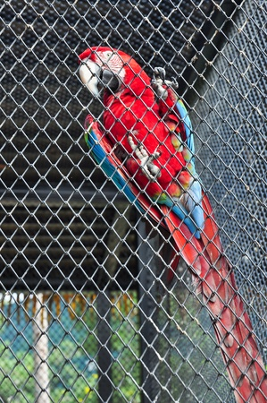 Scarlet Macaw in the cage, Ara macao  photo