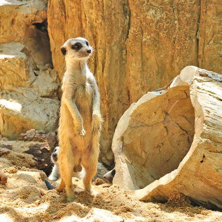 Meerkat or Suricate, Suricata suricatta, a small mammal of africa