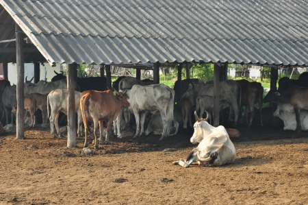 A group of cows in cattle farm