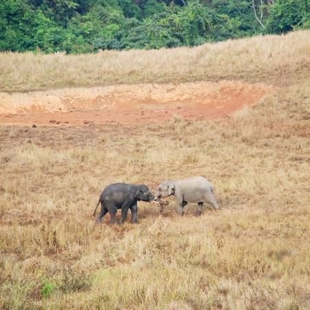 Two young Asian Elephants of Khao Yai national park, Thailand  photo