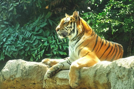 Indochina Tiger at Dusit zoo, Bangkok, Thailand,  Panthera tigris corbetti