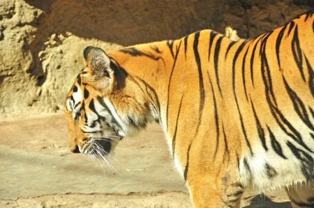 Indochina Tiger at Dusit zoo, Bangkok, Thailand,  Panthera tigris corbetti
