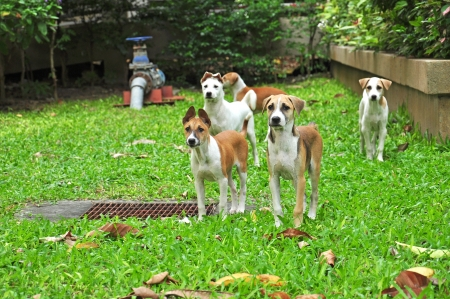 Group of thai dogs