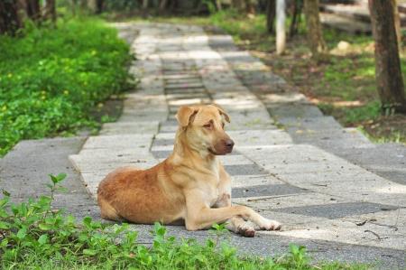Thai dog on walkway in green park Stock Photo - 15150190