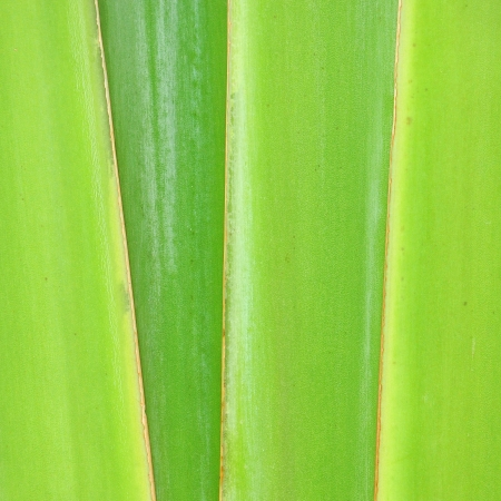 Pattern of ornamental banana branch  Stock Photo - 15562361