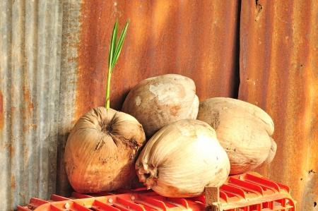 Dry coconut Stock Photo - 17020304