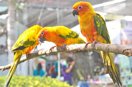 Sun Parakeet or Sun Conure  Aratinga solstitialis  is a medium-sized parrot native to northeastern South America   photo