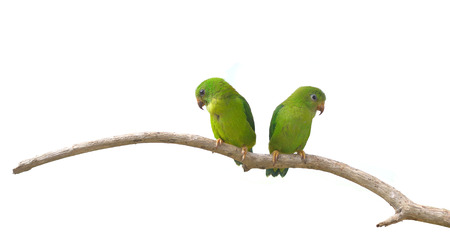 vernal: Vernal Hanging Parrot  Loriculus vernalis  isolated on white background, Parrots of Thailand Stock Photo