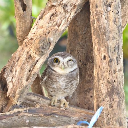 Spotted owlet  Athene brama , Small owl photo