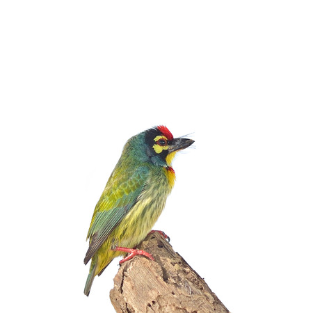 Coppersmith Barbet  Megalaima haemacephala  isolated on white  photo
